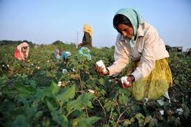 Cotton output set to rise with increased sowing globally